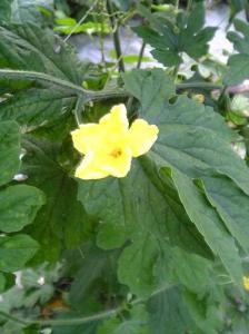 Charantia Flower